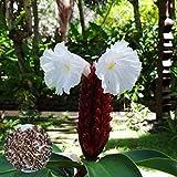 Semillas de Flores-50 Unids / bolsa Semillas de Costus Speciosus Plantas de Planta de Insulina Natural Perennes Raras Productivas para Courtyrad - Semilla