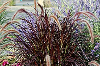 Red Fountain Grass - 3 Live Plants in 6 Inch Pots - Pennisetum Alopecuroides - Fast Growing Perennial Ornamental Grass