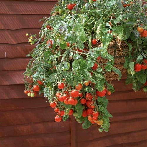 Tomaten-Raritäten aus Portugal 100% natürlich Aufzucht/absolute Rarität/Massenträger (Tomate Tumbler)