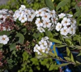 Prachtspiere - Spiraea vanhouttei - Spierstrauch Preis nach Größe 60-100 cm