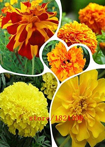 100 graines / paquet, Graines d'Orange Marigold africaine Français Marigold Herbes Tagetes Erecta Fleur