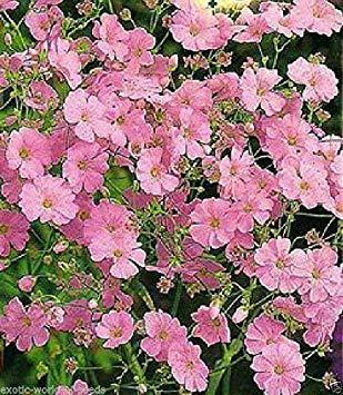Potseed Russo Semi Breath Gypsophila elegans Babys Fiori Rosa varietà Fiori recisi