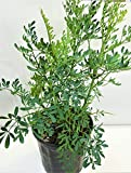 ruda / rue Full Plant with Root