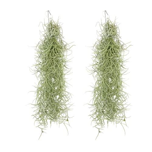 Tillandsia usneoides   Luftpflanze  ...