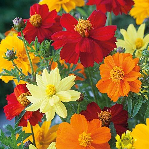 AIMADO Samen-50 Pcs Kosmee bienenfreundliche Blumensamen mischung, große Blüten in schönen Farben Frühling Blumen Samen winterhart für Garten Balkon