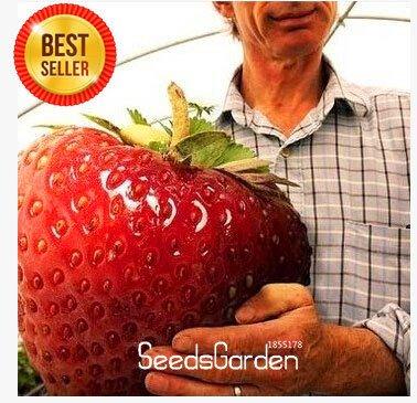 ! Promotion fraise géante fraise graines douces quatre saisons, Rare, Fragrant, Sweet & Juicy - 200 pièces / Lot, # JO9E8A