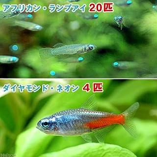charm(チャーム) (熱帯魚)アフリカン・ランプアイ Sサイズ(20匹) + ダイヤモンド・ネオンテトラ(4匹) 【生体】