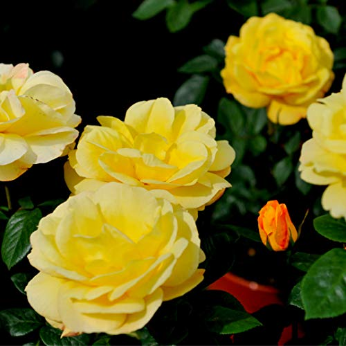 Rosa 'Arthur Bell' Floribunda Rose Bush, Clusters of Bright Yellow Flowers 3fatpigs