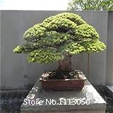 Blanco: promoción Bonsai Seeds 50 paquetes Bonsai Tree Seeds Pinus Seeds Nigra, Fagus Sylvatica, Acer Palmatum, Acer Buergerianum, Diy Novel Se