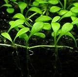 *WFW wasserflora Australisches Zungenblatt/Glossostigma elatinoides