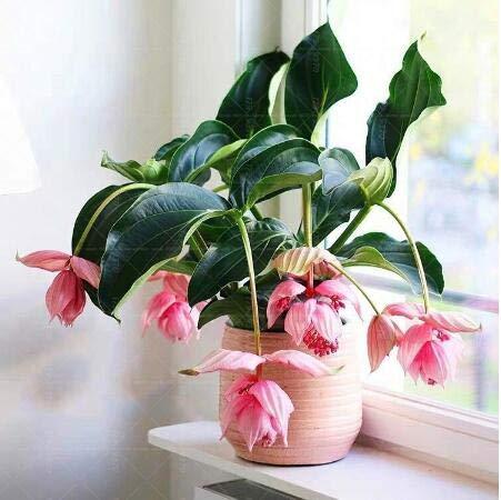 Magnifica Medinilla plant Very Beautiful Flower Bonsai Plant Home Decoration Garden plant Flower 100pcs