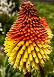 Seeds Red Hot Poker (Kniphofia Berry Tritoma)...