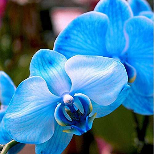 TENGGO Egrow 200 Teile/Beutel Phalaenopsis Seltene Orchidee Samen Bonsai Blumen Samen Für Hausgarten Pflanzen - Blau