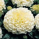 African Marigold - 40 seeds - Cream White - Tagetes erecta - ANNUAL FLOWER