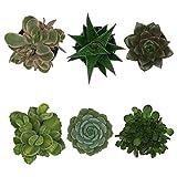 Pasiora Sukkulenten Mix im 6cm Topf, verschiedene kleine Pflanzen, Geschenkset (6 Stück)
