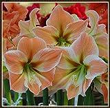 Amaryllis Birne,Amaryllis Zwiebel,Blumen,Pflanzen Sie Gärten,Schön,Die Große Regenbogengöttin Der Liebe Wurde Auf Dem Hof gepflanzt-1,1 Zwiebel