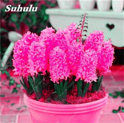 100 Pcs jacinthe Graines Hyacinthus Orientalis plantes vertes d'intérieur, plantes à fleurs, facile à cultiver, bricolage jardin Plante en pot 20