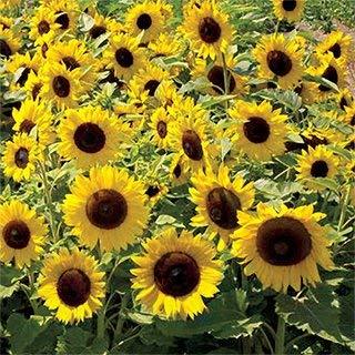 Non GMO Dwarf Sunspot Sunflower Seeds 1,000 Seeds (1/4 Lb)