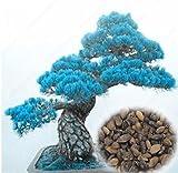 50pcs / bag japonesa raras semillas amarillas del árbol de pino de Bonsai Pinus Thunbergii Semillas Jardín de Invierno de Navidad de Kawaii Plantas envío multicolores