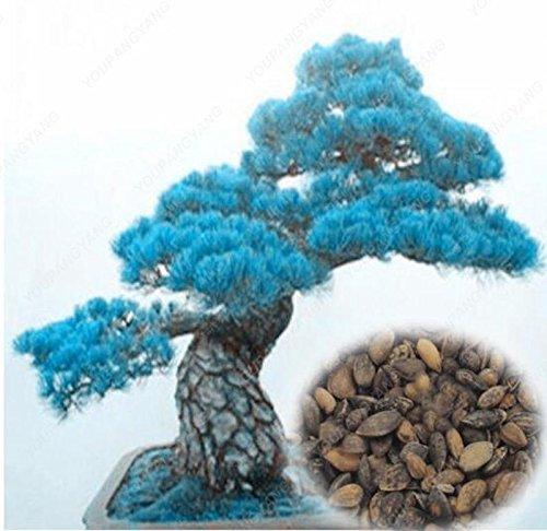 50pcs/sac japonais rares arbres de pin jaune Graines Bonsai Thunbergii Pinus Graines Jardin d'hiver de Noël Kawaii Plantes Livraison gratuite multicolor
