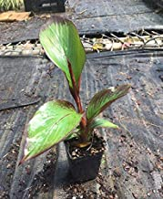 4 inch Pot Ensete maurelii Red Abyssinian Banana Tree- DNB3010 (3)