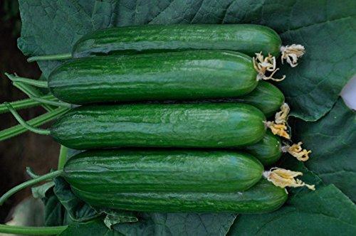 Tradico GURKE HYBRID BEIT ALPHA 10GM SAMEN VON Super Agri Green (kaufen wissen, um 10 samen farbige mais free-1pkt)