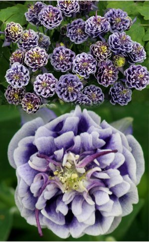graines populaires à l'importation d'intérieur en pot ancolies double clignotement bleu blanc deux couleurs 60 / paquet
