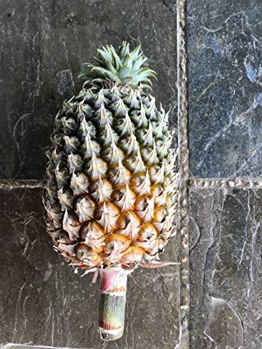 FERRY Bio-Saatgut Nicht nur Pflanzen: Ananas comosus, Nanas Sawit 100 Samen von Borneo + Free PC
