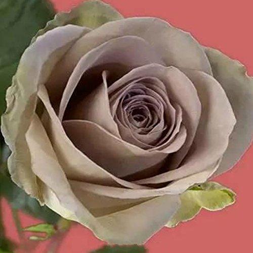 150PCS Rose Flower Seed Hollande Rose Graines amant cadeau arc-RARE 25 exotiques couleurs au choix de bricolage pour les plantes de jardin à la maison 22