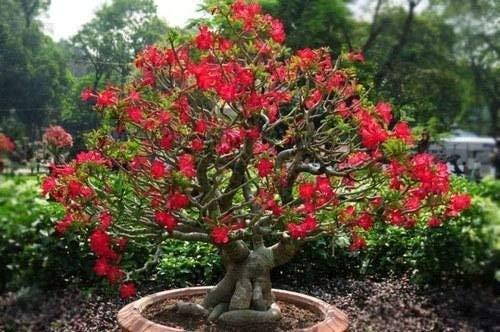 20x Dwarf RED Baum Rosen-Samen