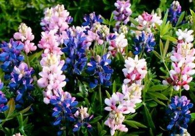 50ct von Lupinen, Pixie, Dwarf Lupine, Wildsamen, Erbstück Blumensamen
