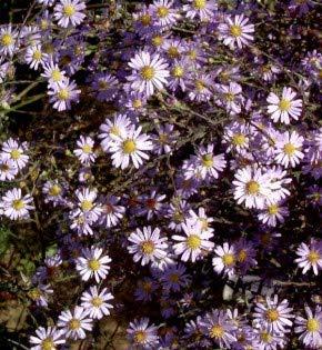 Winteraster Elfenreigen - Chrysanthemum hortorum