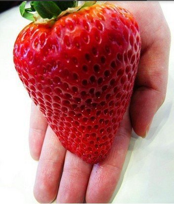 Riesen Erdbeere -Doppel-Packung- (Gigantisch Große Erdbeeren, die größten der Welt) 40 Samen