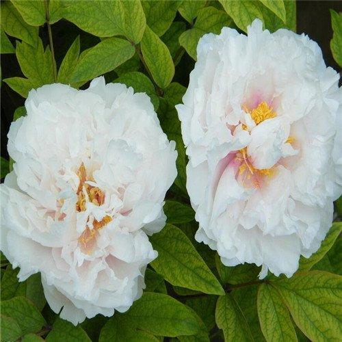 5 pièces/sac graines de pivoine, jaune, graines de fleurs de pivoine rose chinoise belles graines de bonsaï plantes en pot pour le jardin de la maison 10