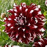 B/H mélange Fleurs graines,Plantes ornementales,Plantes ornementales,Graines de Dahlia - Mélange de Couleurs_150 pcs,mélange Fleurs graines