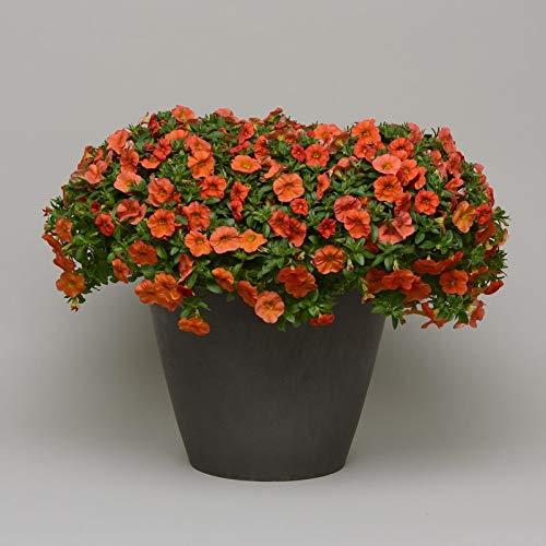 Pflanzen Kölle Zauberglöckchen, orange, 6er-Set, Topf 12 cm Ø