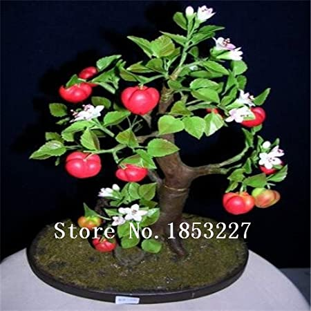 WANCHEN GGG 30 Cashew Nut Apple Seeds Plant Anacardium Occidentale Tree Planting Seeds Fresh New Fruit Seeds