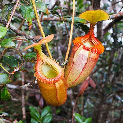 XQxiqi689sy 50 Stück/Beutel Nepenthes Seeds Dekorative Tropisch Verpackte Fleischfressende Pflanzensamen Orange Nepenthes Samen
