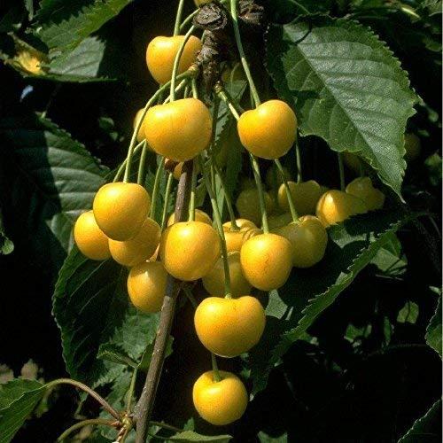 Obstbaum Kirsche Kirschbaum Busch Form gelb Dönissens gelbe Knorpelkirsche - hochwertige Baumschul Qualität direkt vom Fachhändler