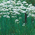Outsidepride Chives - Garlic