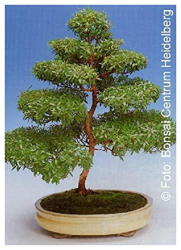 TROPICA - Myrte commun (Myrtus communis) - 30 graines- Bonsai