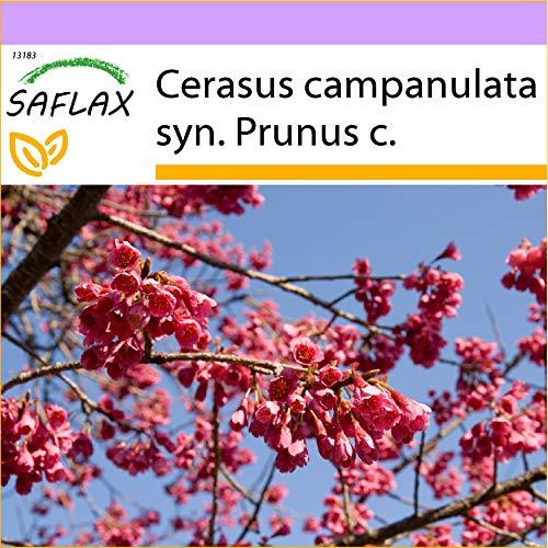 SAFLAX - Cerisier de Taïwan - 10 graines - Cerasus campanulata syn. Prunus c.