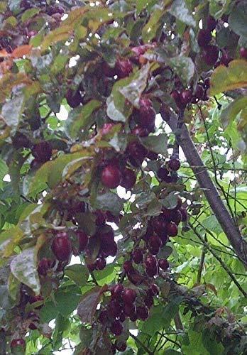 Blutpflaume Prunus cerasifera 'Nigra' Pflanze 15-20cm Blut-Pflaume Kirschpflaume