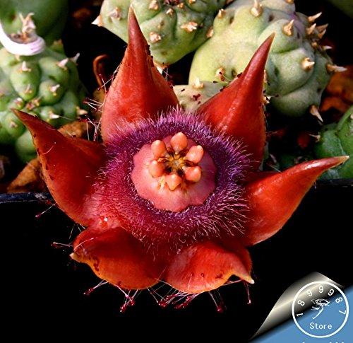 Venta caliente! 100pcs / lot mejores semillas raras flor del cactus, forma gigante, tolerantes al calor Planta suculenta perenne De Flores, # BBQMBQ