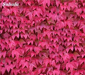 VISTARIC 7: Mix Boston Seeds 100% vrai Parthenocissus tricuspidata semences Plantes d'extérieur QUASIMENT soins décoratifs Escalade usine 100 Pcs 7