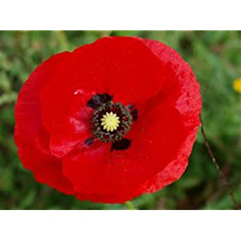 Fresh Canadian Seed Caribou Seed Company: Perennial Flanders Poppy Bright Scarlet Blooms 100+ Seeds Heirloom