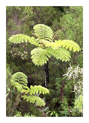 Cyathea glauca - fougère - 100 graines