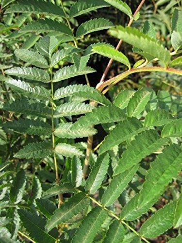 Baumschule Pflanzenvielfalt Eberesche - Vogelbeere - Drosselbeere - Sorbus aucuparia