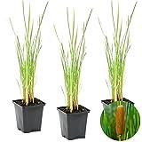 Röhrchenflaschen | Typha 'Angustifolia' 3x - Teichpflanze im Gartentopf cm9 cm - ↕15 cm