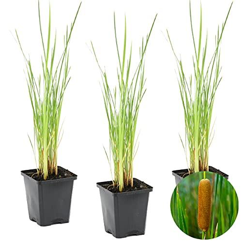 Röhrchenflaschen   Typha \'Angustifolia\' 3x - Teichpflanze im Gartentopf cm9 cm - ↕15 cm